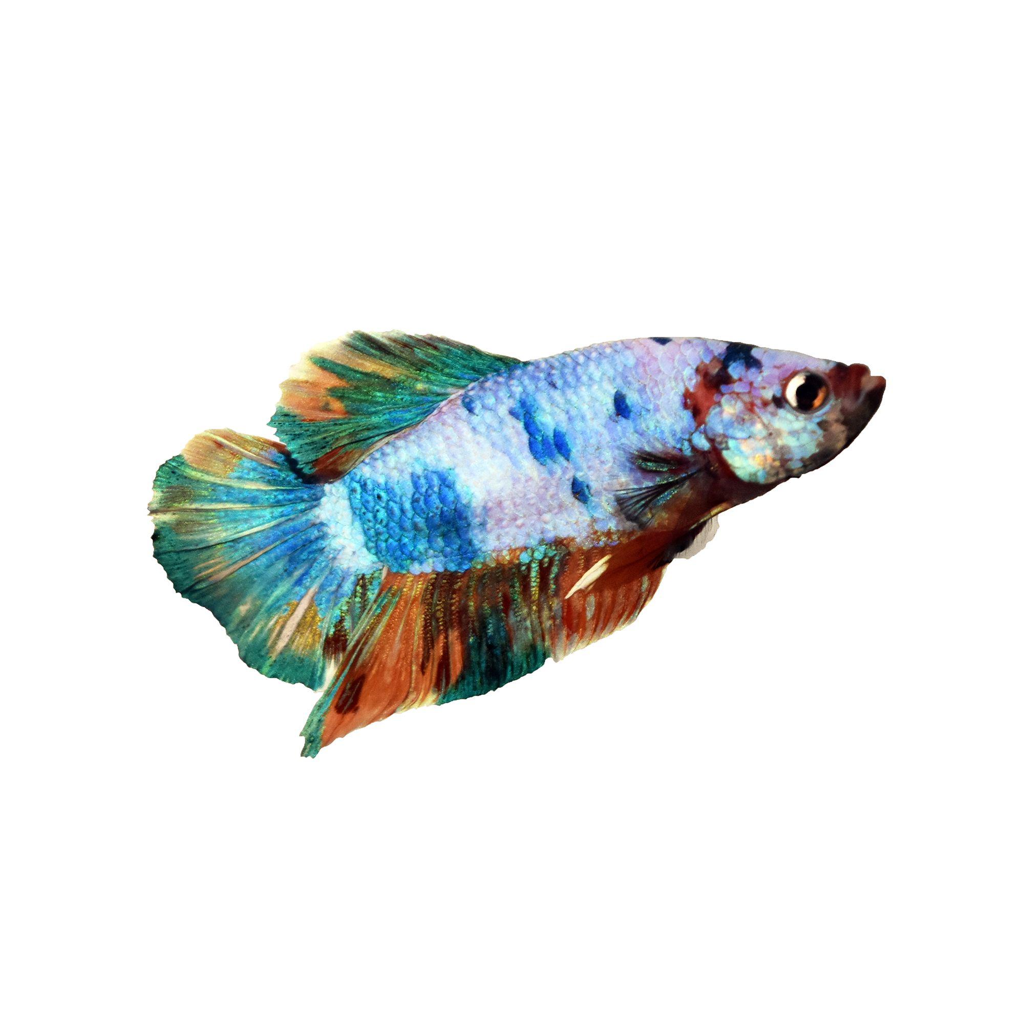 Rainbow Male Betta Fish Fish Goldfish Betta More Petsmart