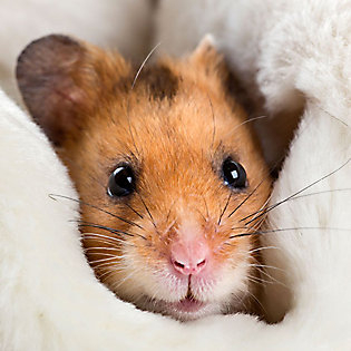 hamsters dwarf syrian hamster care petsmart