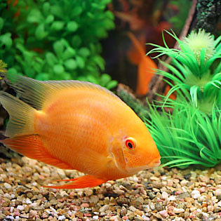 Semi-aggressive tropical fish