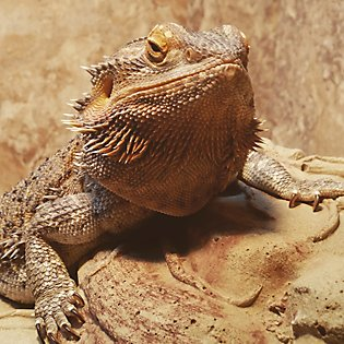 Your bearded dragon's home