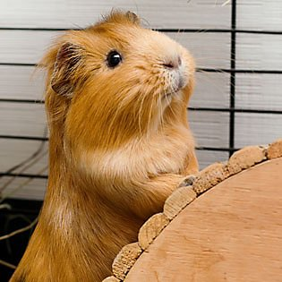 Your Guinea pig's home