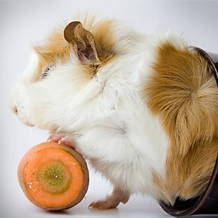 What your Guinea pig likes to eat
