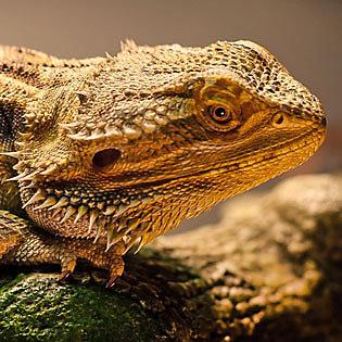Cool Reptiles: 7 Best Pet Lizards & Snakes | PetSmart