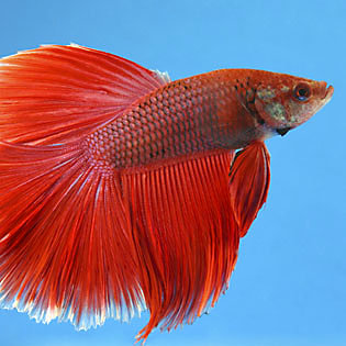 Can You Feed Goldfish Food To Tropical Fish