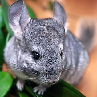 What you'll need for your chinchilla's home