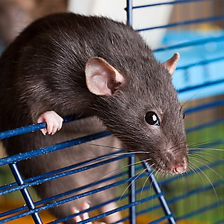 What you'll need for your pet rat's home