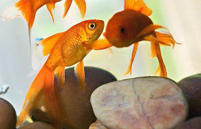 Pet fish for sale tropical and freshwater fish petsmart for Petsmart live fish