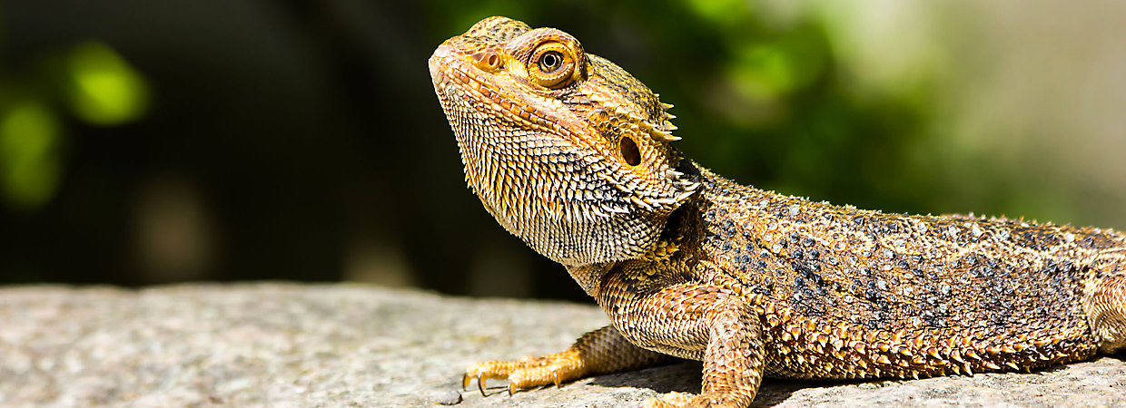 Bearded Dragon Care Sheet & Supplies | PetSmart