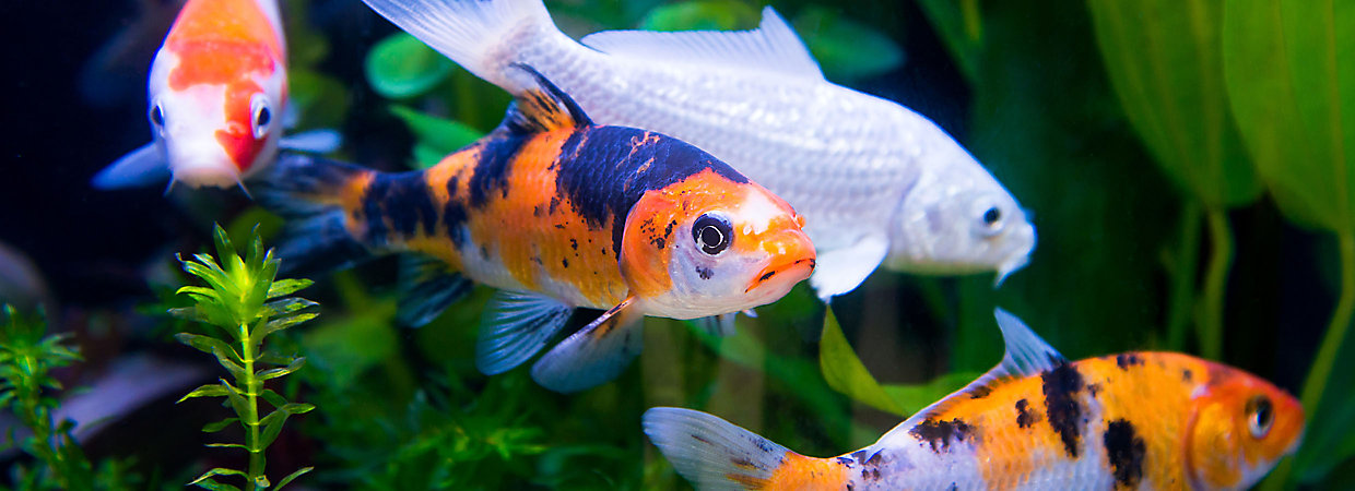Koi fish care pond guide petsmart for Baby koi food