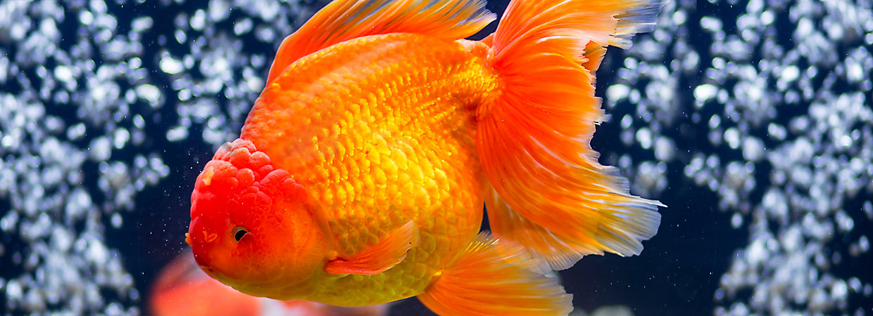 Goldfish care: how to take care of a goldfish (in 9 steps).