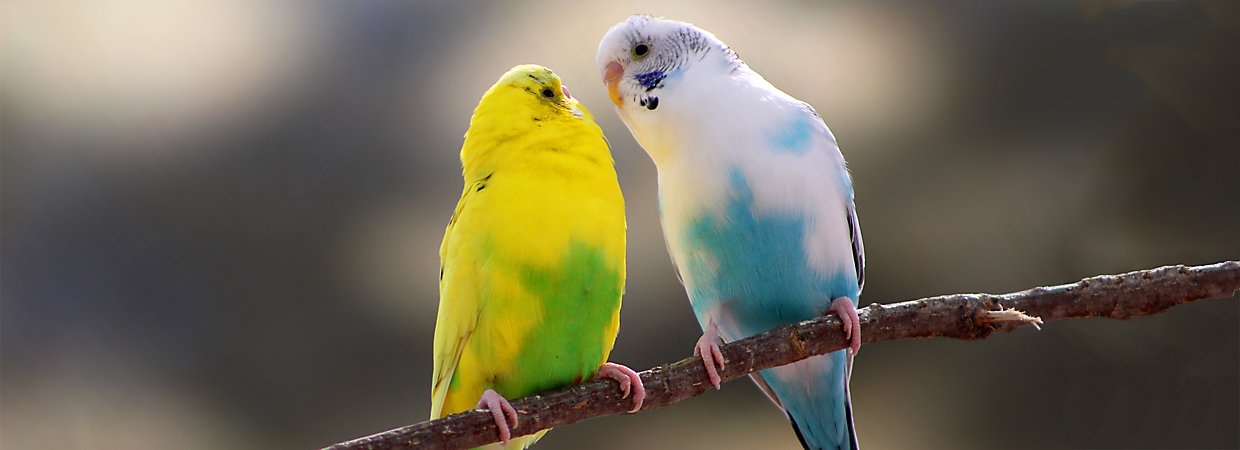 Lovebirds as Pets: Supplies & Care | PetSmart