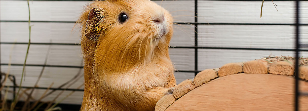 feeder watch guinea pig go to vacation do you a on with what when