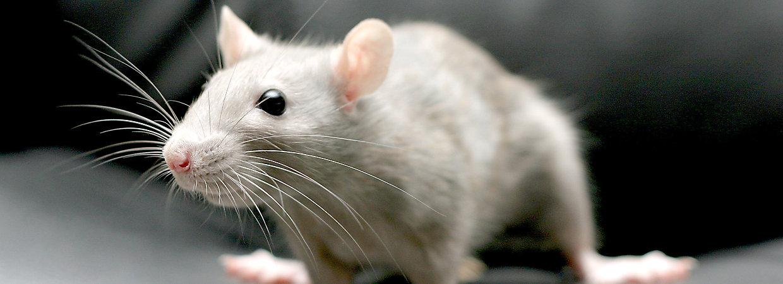 Pet Rat Supplies Online