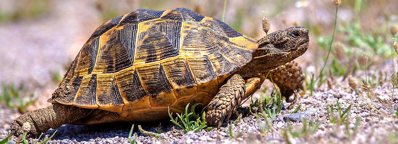 Mediterranean Tortoise Care Sheet Supplies Petsmart