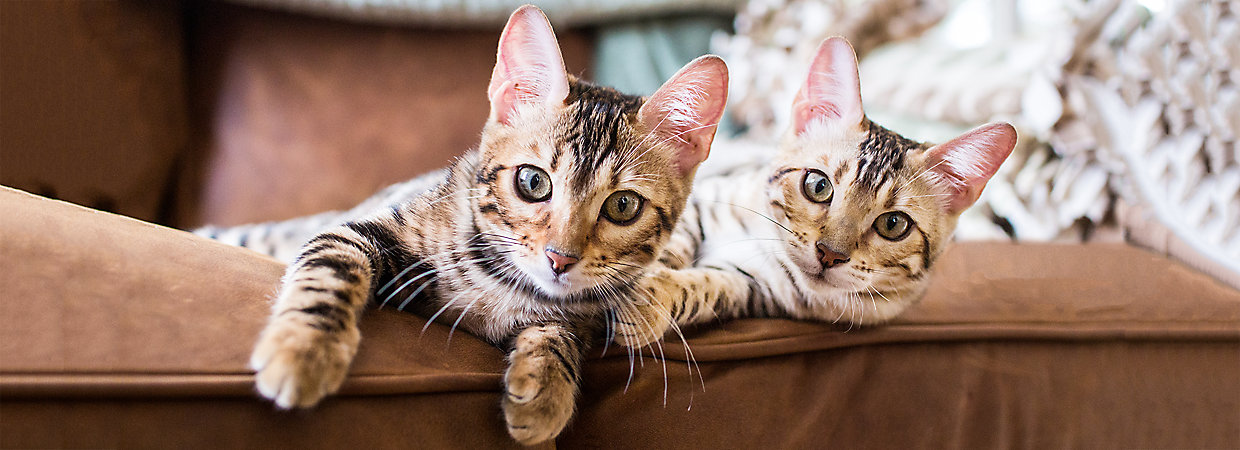 Stop Cat Scratching Furniture Prevention Tips Petsmart