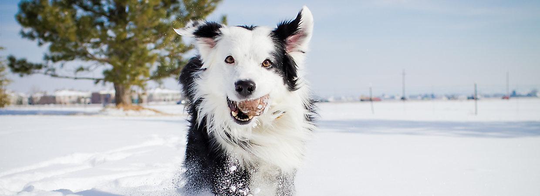 Winter Pet Safety Keeping Warm Healthy Petsmart