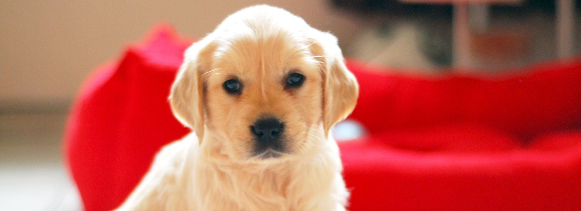 Puppy-Proofing Your Home