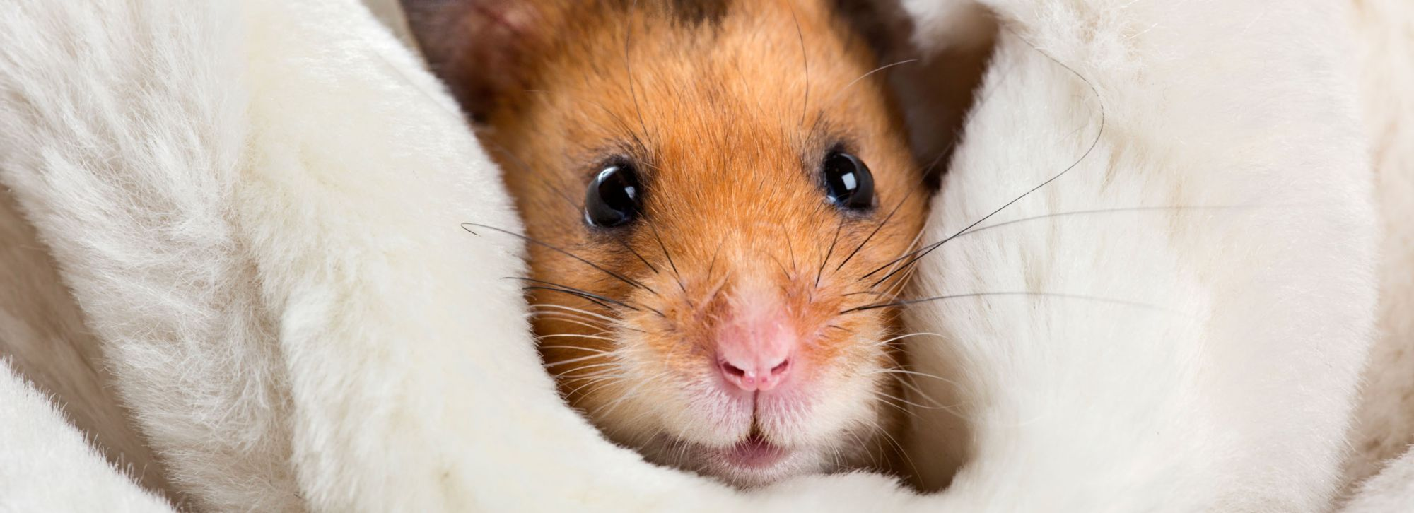 So, You Want a Hamster?