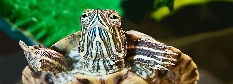 Pet Turtle Tortoise Types Petsmart