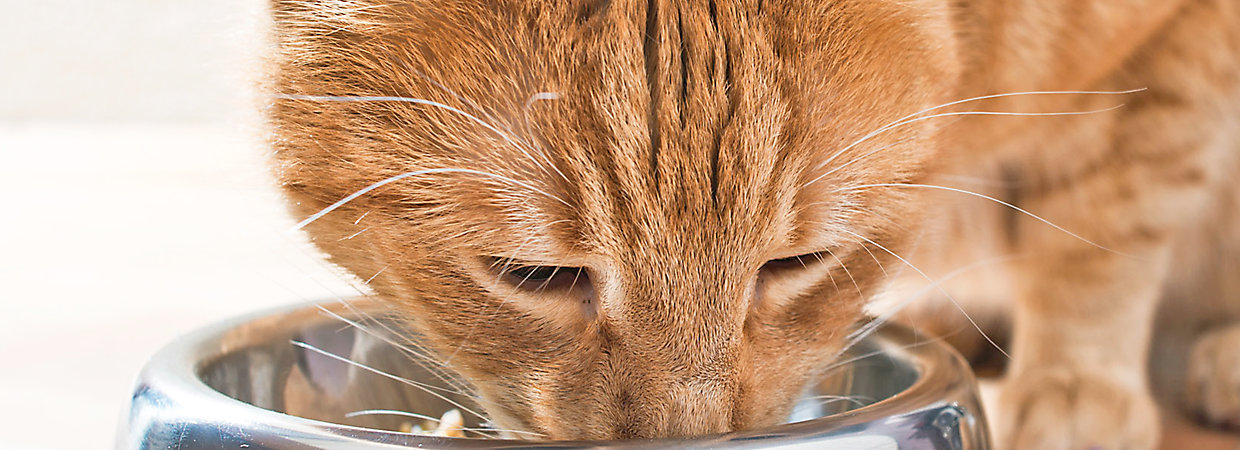 Should Cats Eat Wet Food Every Day
