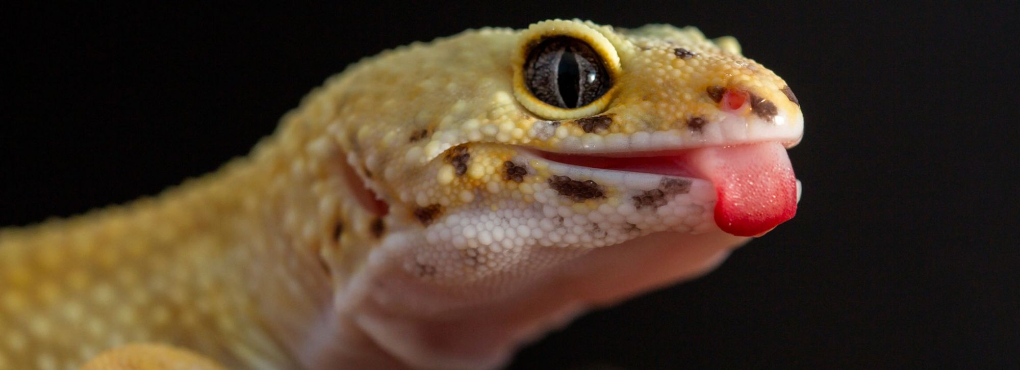 What Should I Feed My Leopard Gecko?