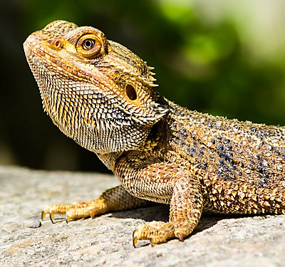 Bearded Dragon Care Guide