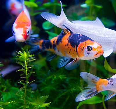 Fish care guides petsmart for Koi fish care