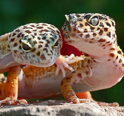 Leopard Gecko Care Guide