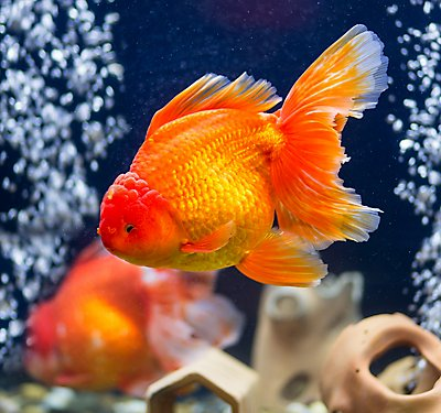 Fancy Goldfish Care Guide