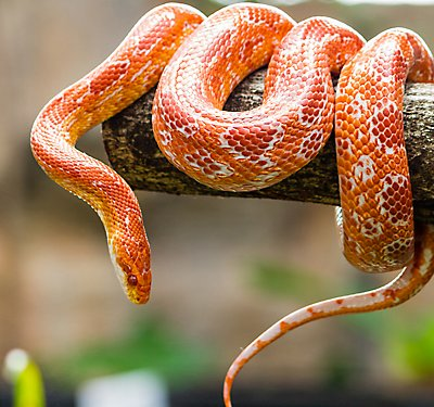 Kingsnake, Milk Snake and Corn Snake Care Guide