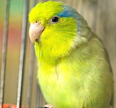 A Set-up guide for Your New Pet Parrotlet