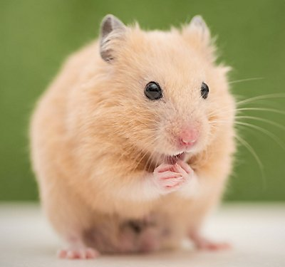 Pet Hamster Breed Information | PetSmart