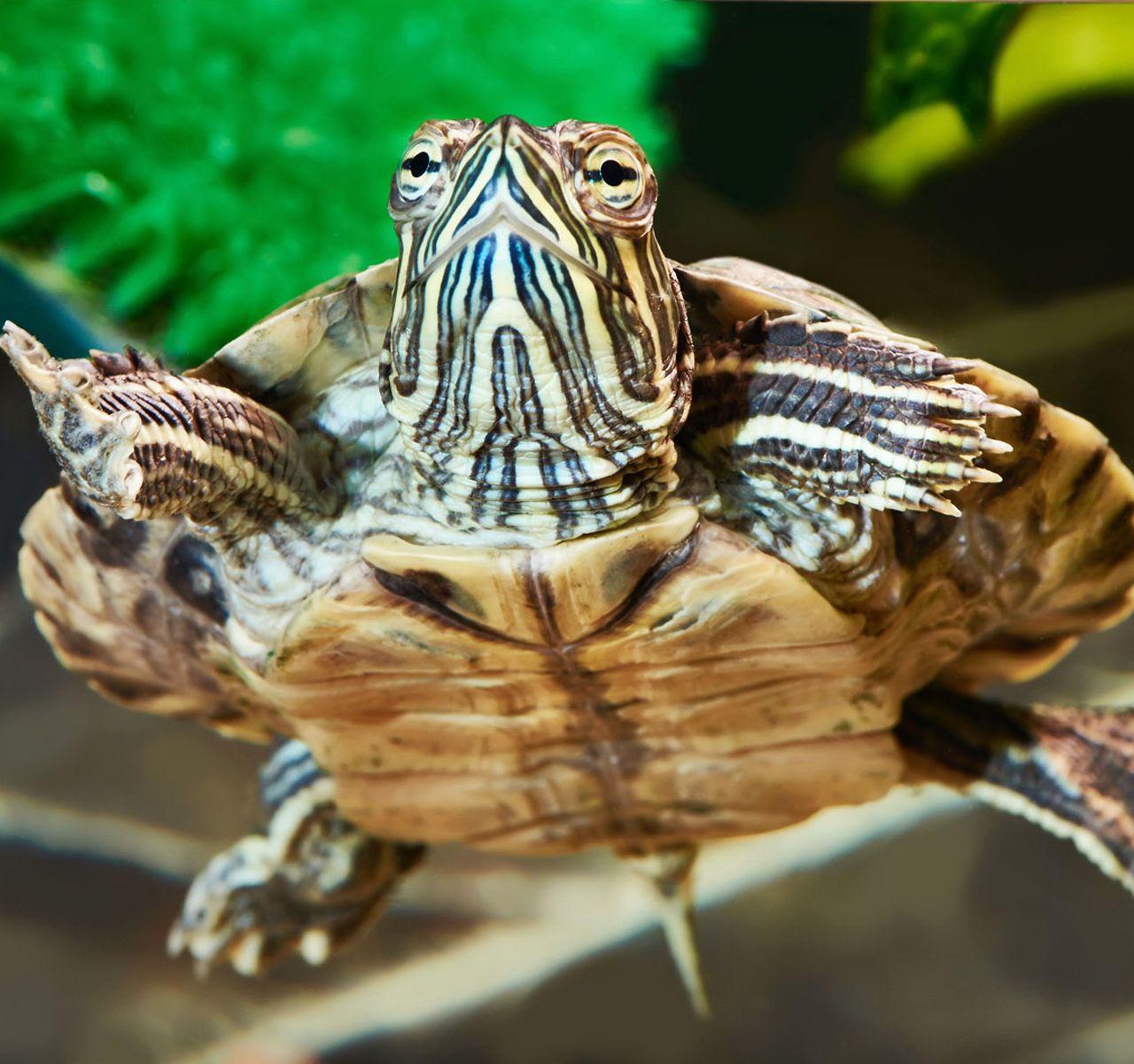 Types Of Water Turtles As Pets