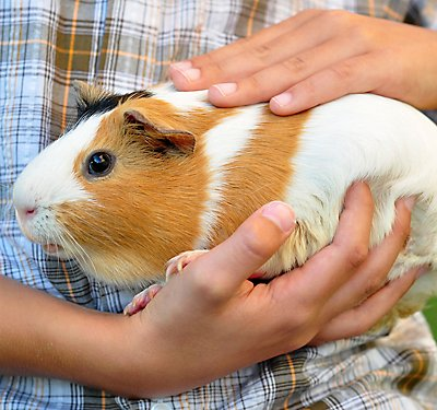Guinea Pigs at Home and in the Classroom