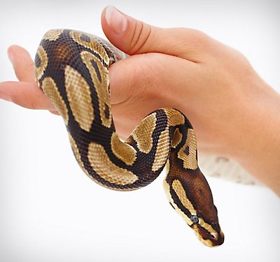Sand Or Rosy Boa Care Sheet Amp Supplies Petsmart