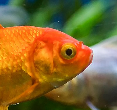 Fancy Goldfish Care Sheet & Supplies | PetSmart