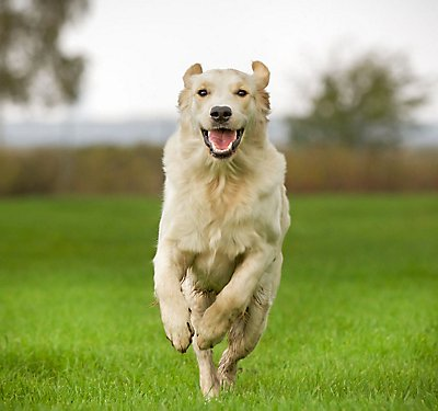 Living Large: Nutrition for Big Dogs