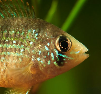 Semi-Aggressive Fish Care Guide