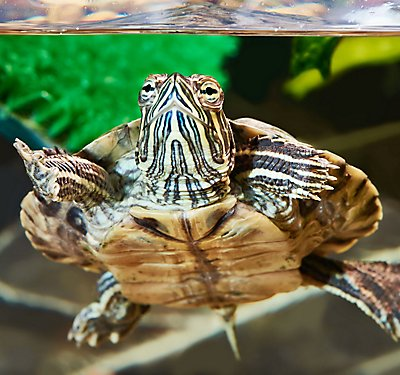 So, You Want a Turtle or Tortoise?