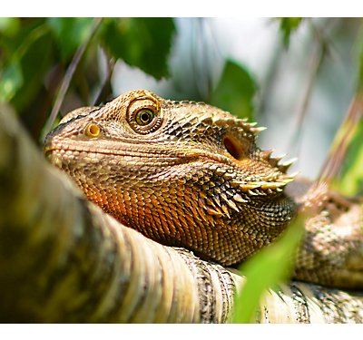 Bearded Dragons Care Facts Amp Info Petsmart
