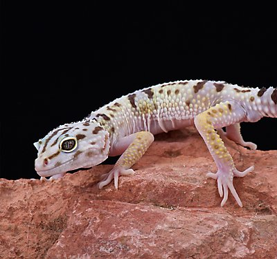 Health Care Your Leopard Geckos Home