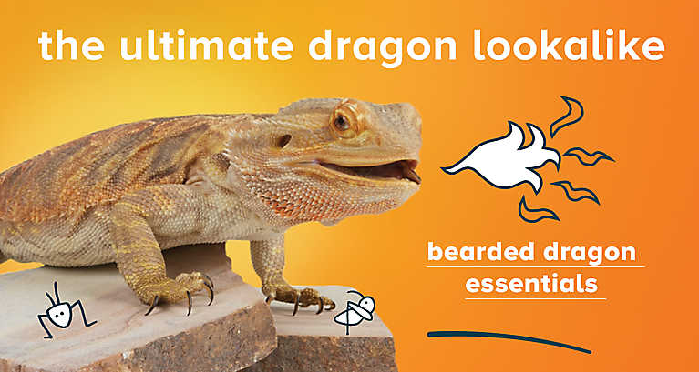 Reptile Month - Bearded Dragon