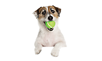 A dog with a tennis ball in its mouth