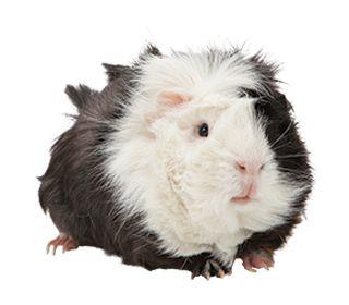 Guinea Pig Care Sheet & Guide | PetSmart