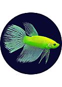 GLO Betta Fish