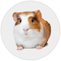 Guinea Pig (Photo)