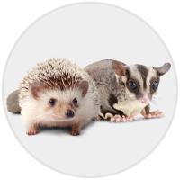 Hedgehog/Sugar Glider (Photo)