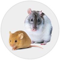 Rat/Mouse (Photo)