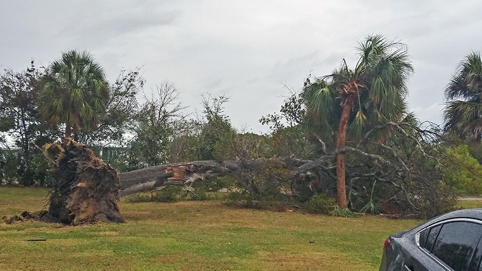 Sent from the Spectrum News 13 app: A giant oak tree was knocked down in Merritt Island during a storm on Thursday, January 24, 2019. (Courtesy of Sid Dixon, viewer)