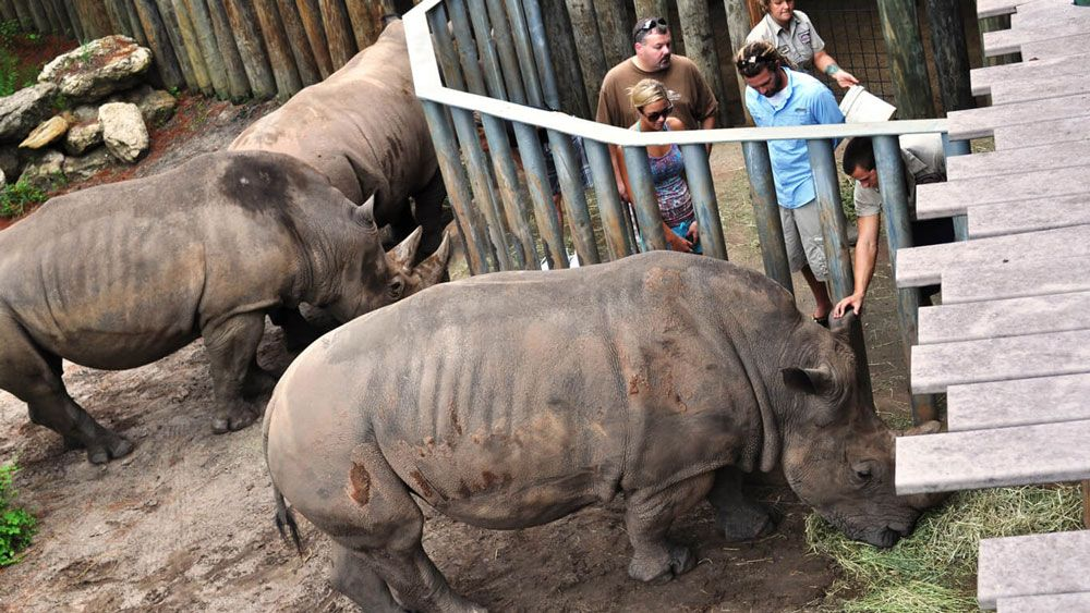 The Rhino Encounter at Brevard Zoo allows guests to interact with rhinos, separated by steel poles. (Photo from Brevard Zoo)